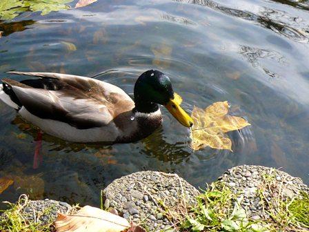 池の鴨さんも落ち葉と