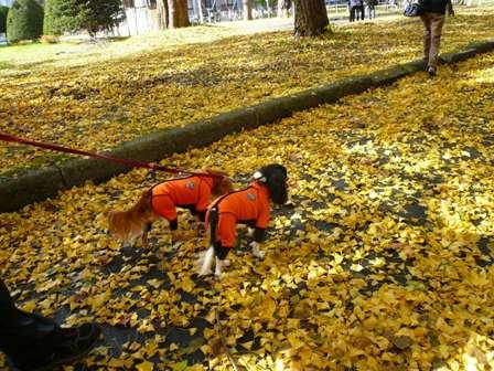 銀杏の落ち葉の絨毯