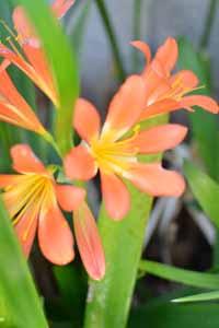 Flower_Lily.jpg