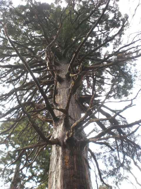大きな杉.jpg