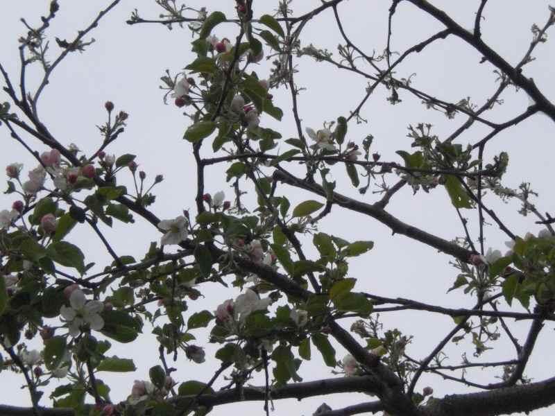 林檎.jpg
