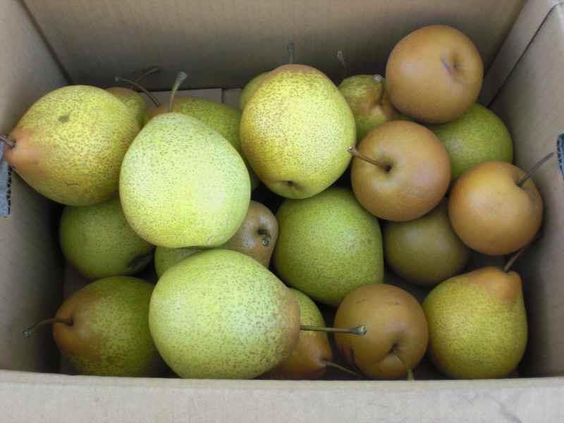 梨収穫.jpg