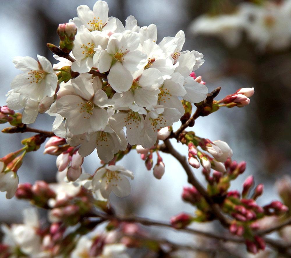 桜 白鷺神社