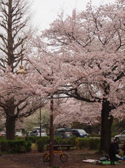 大学通り桜(2013)