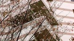 1105_06sakura.jpg