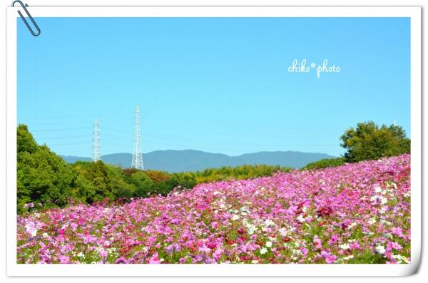 photo-560 2014コスモスの丘_1