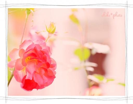photo-588 大阪 街フォト_中之島バラ園1_2