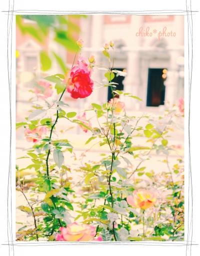 photo-588 大阪 街フォト_中之島バラ園1_3