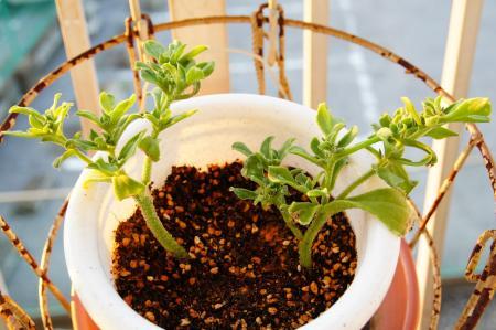 solt plant