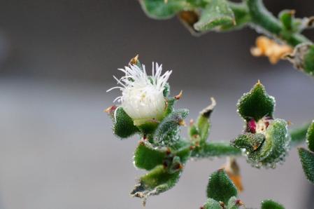 Ice Plant 2012-06-25