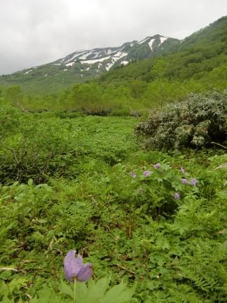白根葵と白馬岳
