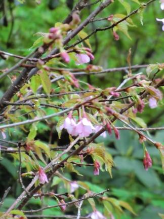 タカネザクラ 高嶺桜