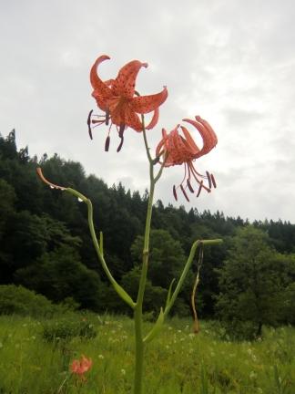 3姫川湿原ゆり