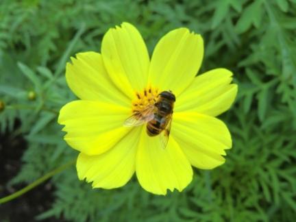 ミツバチと黄色コスモス