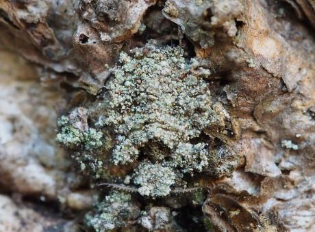 コマダラウスバカゲロウ幼虫