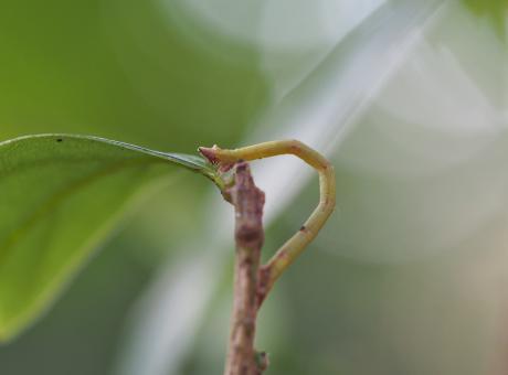 ヒメウスアオシャク幼虫か