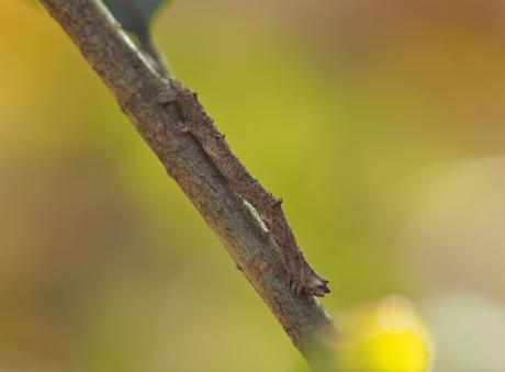 アオシャク幼虫の一種か
