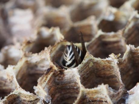 クロスズメバチ5