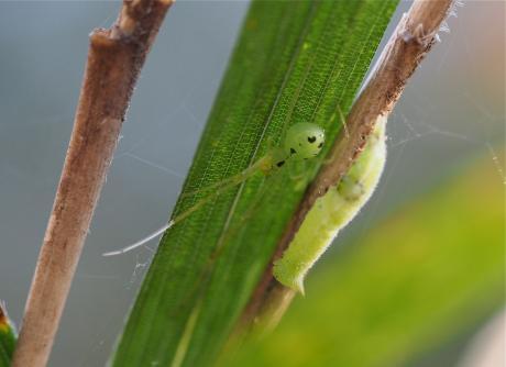 クモ&ヒカゲチョウ幼虫