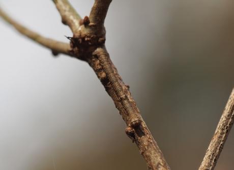 シャクガ幼虫2