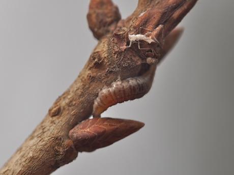 ヤマトクサカゲロウ幼虫か2