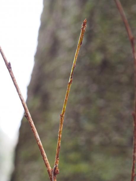 ヒロバツバメエダシャク幼虫か2