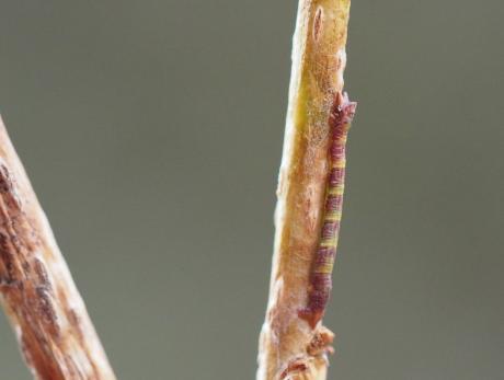 ヒロバツバメエダシャク幼虫か