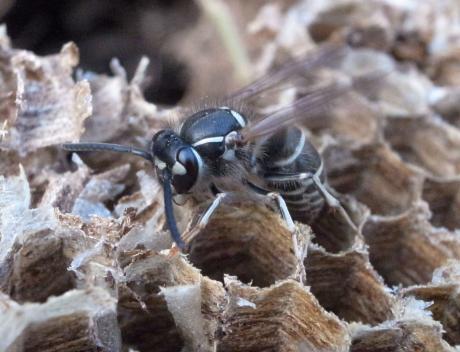 クロスズメバチ4