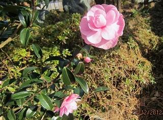 八重咲き山茶花