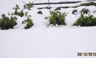 雪の下になった大根