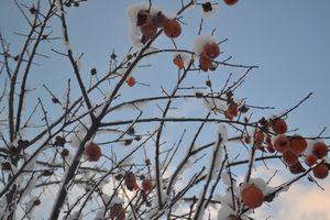 003柿に雪