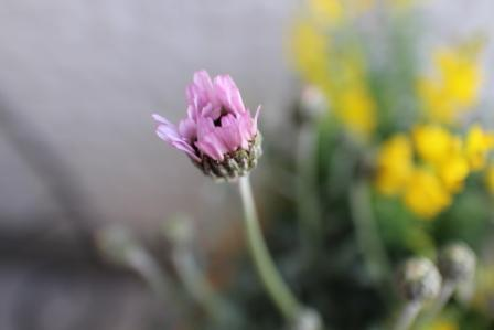 20130319お花ピンク