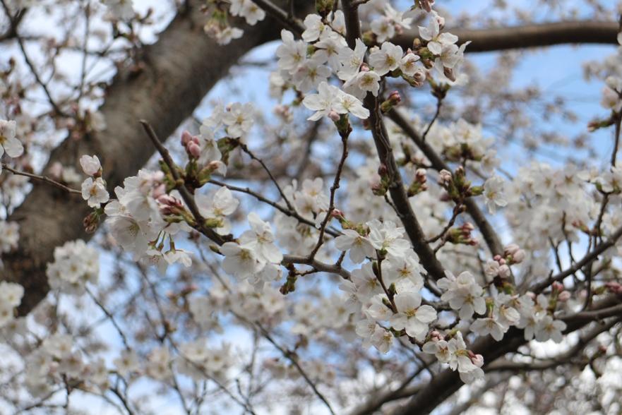 20130406桜