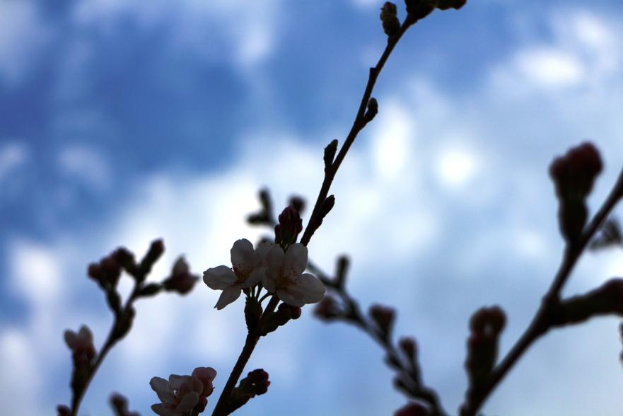 20130406桜3