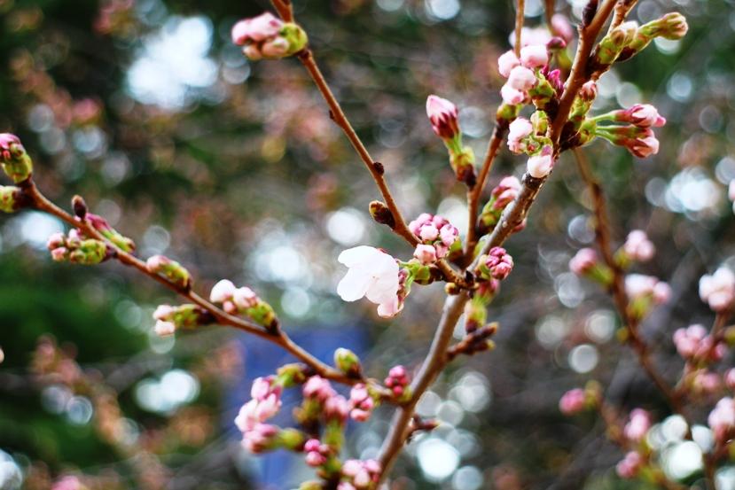20130406桜1