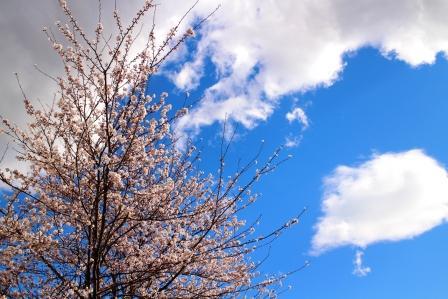 20130408桜1