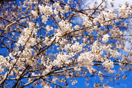 20130408桜2