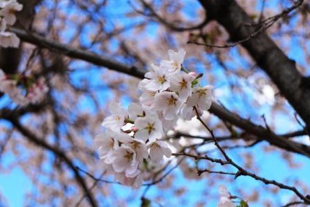 20130408桜3