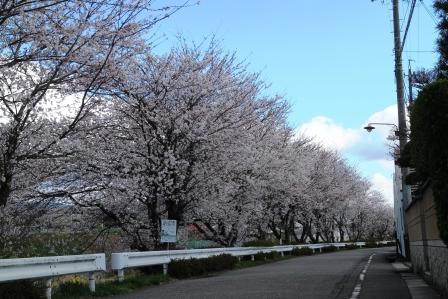 20130408桜4