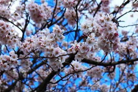 20130408桜5