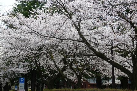 20130413桜2