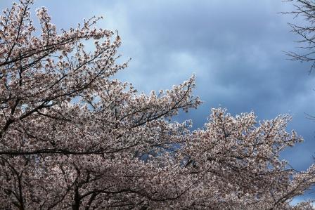 20130413桜1