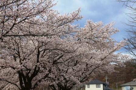 20130413桜3