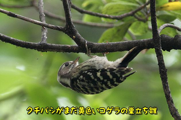 コゲラ巣立ち雛