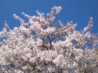 桜2013