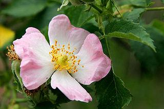 320px-Wild_rose_flower.jpg
