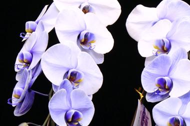 パープルエレガンス~紫の胡蝶蘭(コチョウラン)