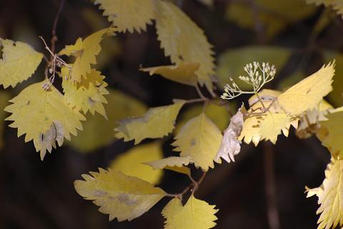 コアジサイの黄葉がきれい