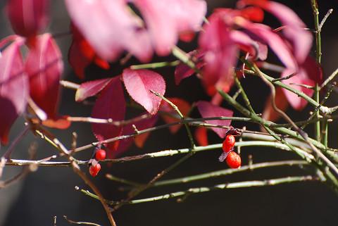サワダツの赤い実は