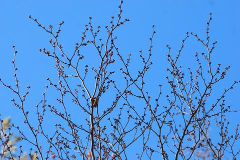 シロモジの冬芽が